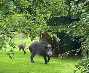 wild boar Goldsmith