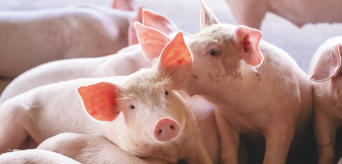 New research reveals significant reduction in carbon footprint of British pig farms