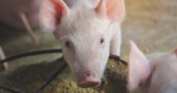 Beyond Zinc - piglet feeding