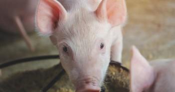 Piglet feeding