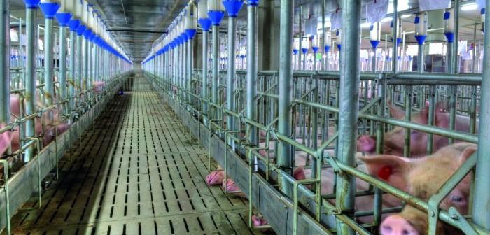 Large pig farm