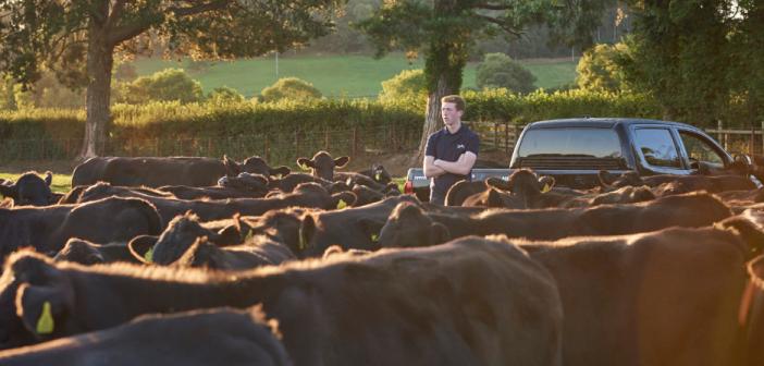 ROWAN AND COWS