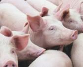 Huawei turns to pig farming