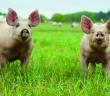 Pilgrim's showcases highest animal welfare standards 1