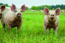Pilgrim's showcases highest animal welfare standards 1