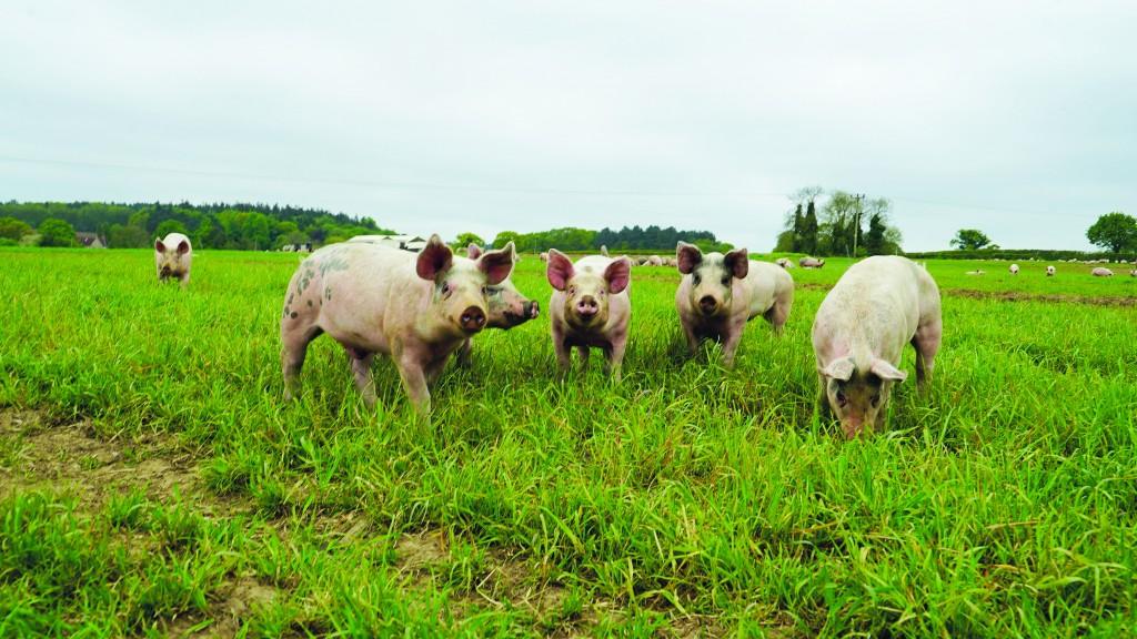 Pilgrim's Pigs