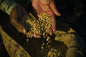 soya beans in hand_123178477
