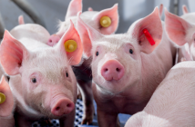 Disease Prevention Must Remain a Priority for Pig Producers