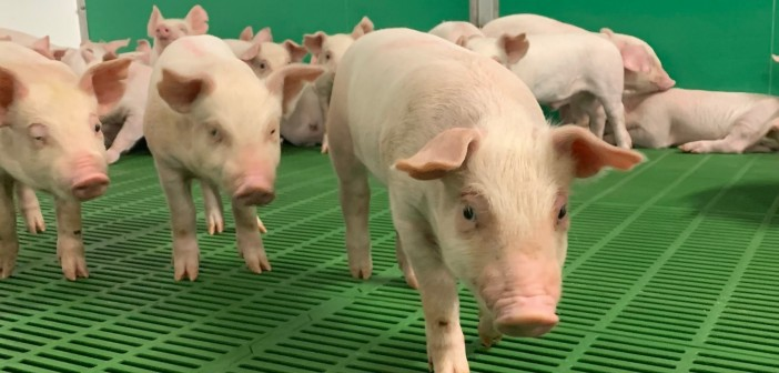 Global pork production increases as China bounces back