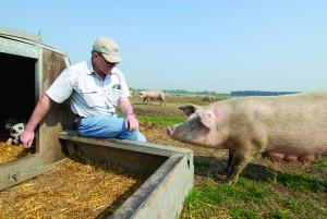 FARMER RICHARD LOHGTHORP WITH SOW: LANDRACE/DUROC BREED