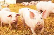 pigs-on-straw-700x336