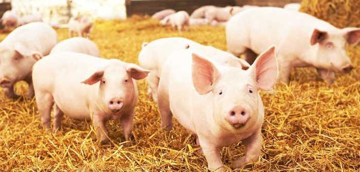 pigs-on-straw-700x336