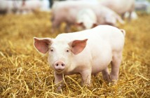 One,Young,Piglet,On,Hay,And,Straw,At,Pig,Breeding