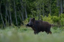 Wild,Boar,In,The,Field,At,Evening,,Forest,Background.,Feral