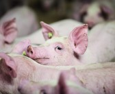 Heat stress in pigs… back to basics