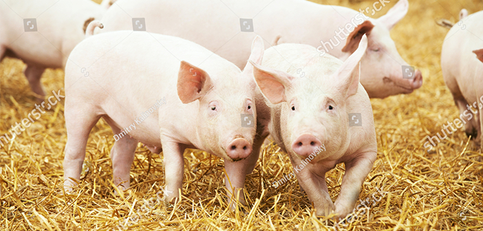stock-photo-two-young-piglet-on-hay-and-straw-at-pig-breeding-farm-331740527