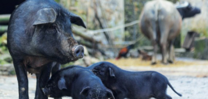 ASF-is-expected-to-force-a-significant-restructuring-of-the-Chinese-pig-industry-571x336