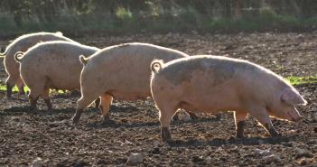Pig crisis