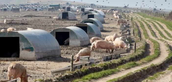 pig farm outdoor cull